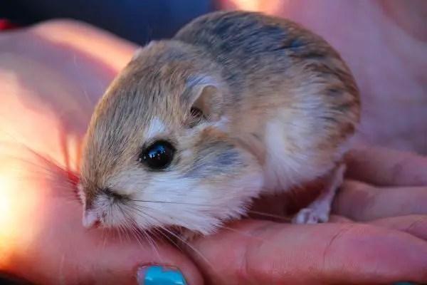 Kangaroo rats - What do Barn Owls Eat