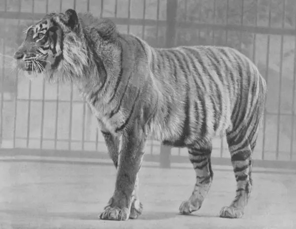 How Long Do Javan Tigers Live