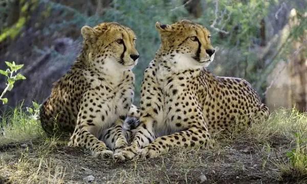 Cheetah Facts