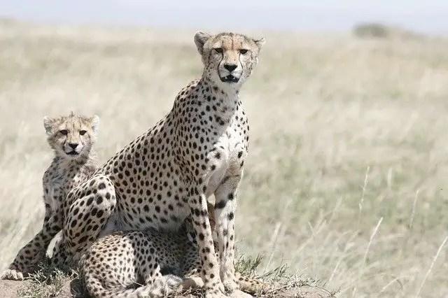 Cheetah habitat map