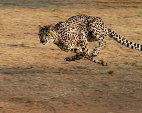 How Fast Can A Cheetah Run - Cheetah Speed