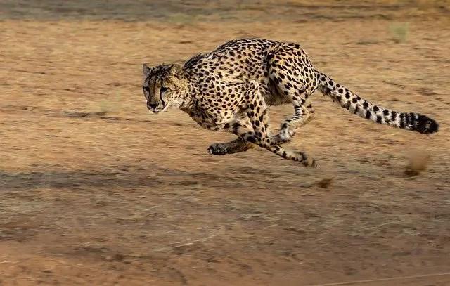 How Fast Can A Cheetah Run - Cheetah Speed