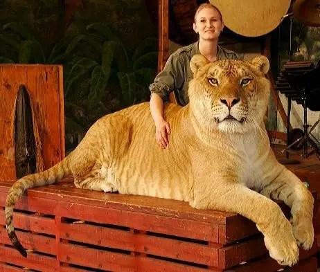 hercules liger - lion facts for kids