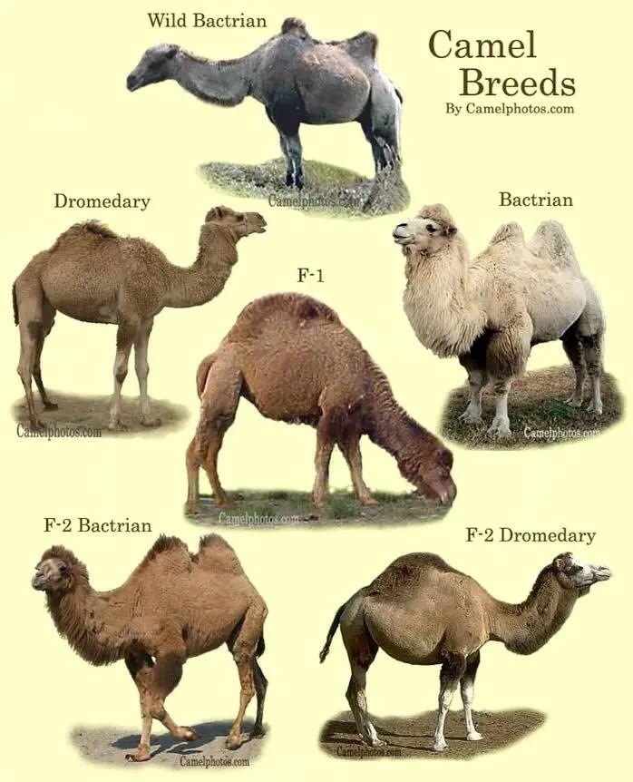 Camel species