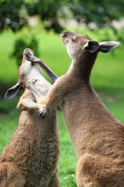 Kangaroo Facts For Kids - All About Kangaroo - Kidz Feed