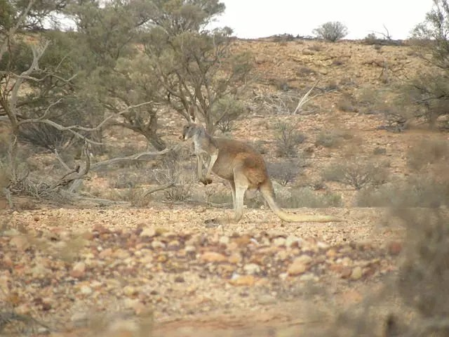 red kangaroo habitat