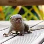 Finger Monkey Facts