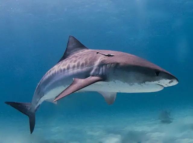 tiger shark facts for kids