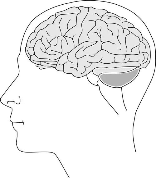 where is human brain