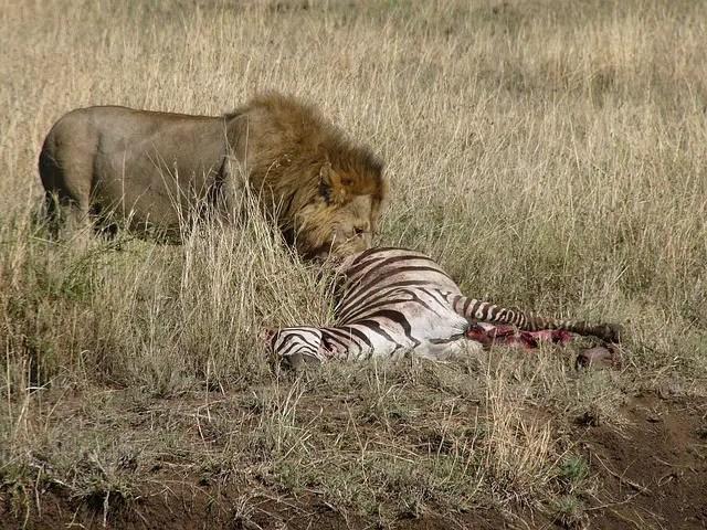 Do Lions Eat Zebras