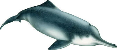 Baiji Dolphin
