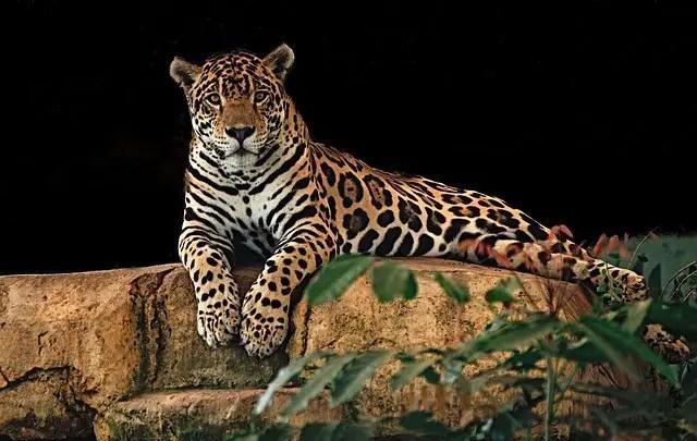Jaguar Facts For Kids