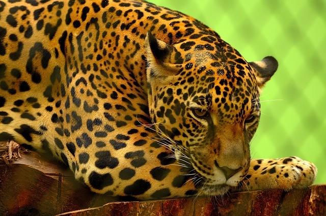 Jaguar Information For Kids