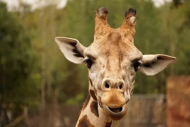 Giraffe Horns Facts