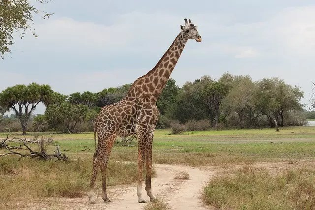 What Do Giraffes Look Like