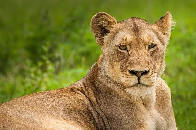 How Long Do Female Lions Live