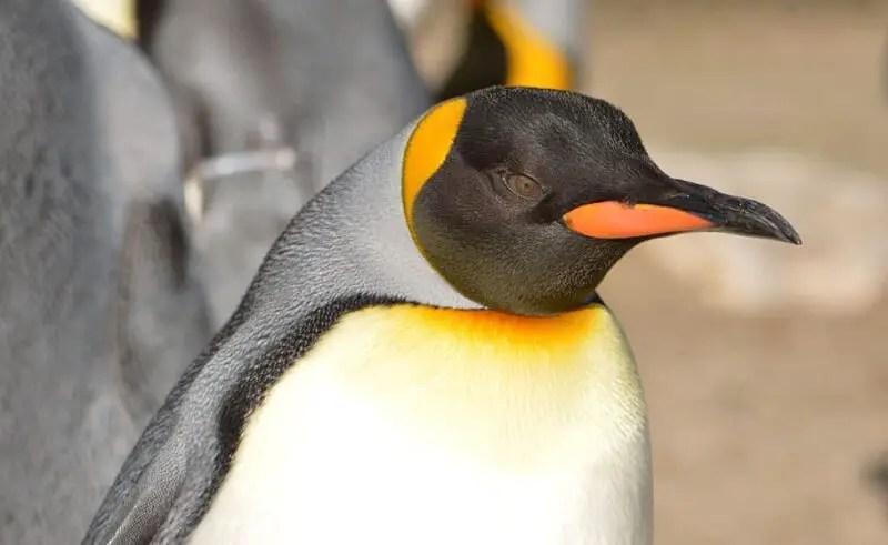 Emperor Penguin Facts For Kids