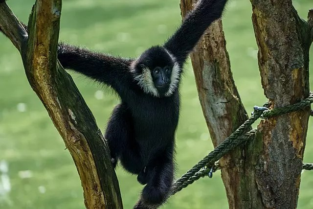 Black Spider Monkey Facts