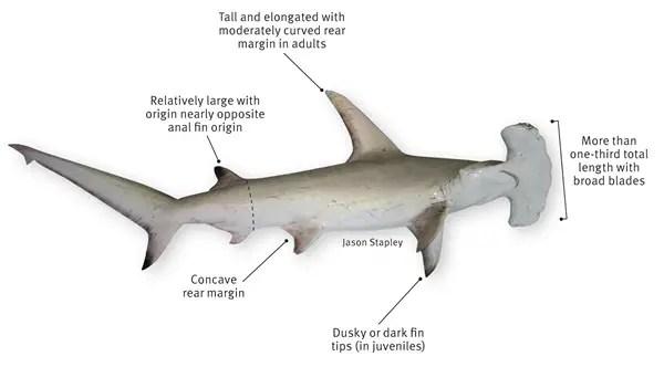 Hammerhead Shark Diagram