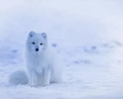 Arctic Fox Facts For Kids
