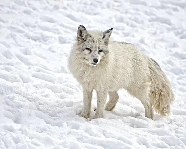 Arctic Fox Appearance