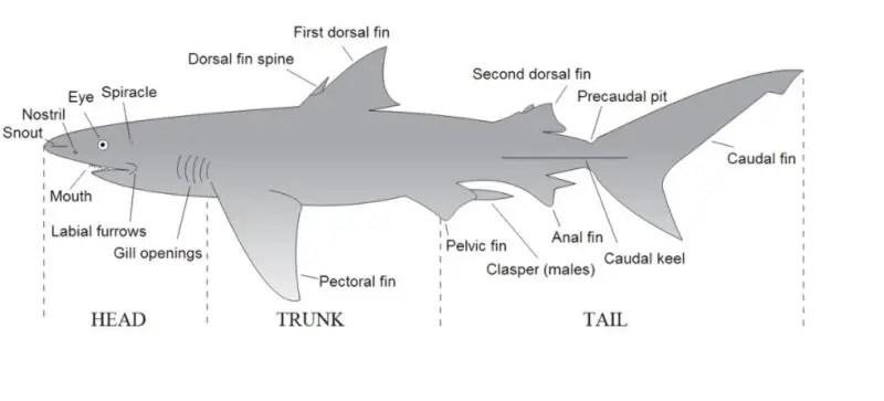 Great White Shark Adaptations
