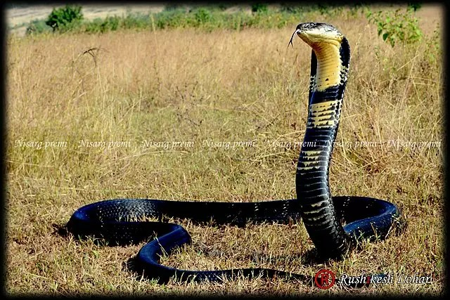 King Cobra Facts For Kids - All About King Cobra