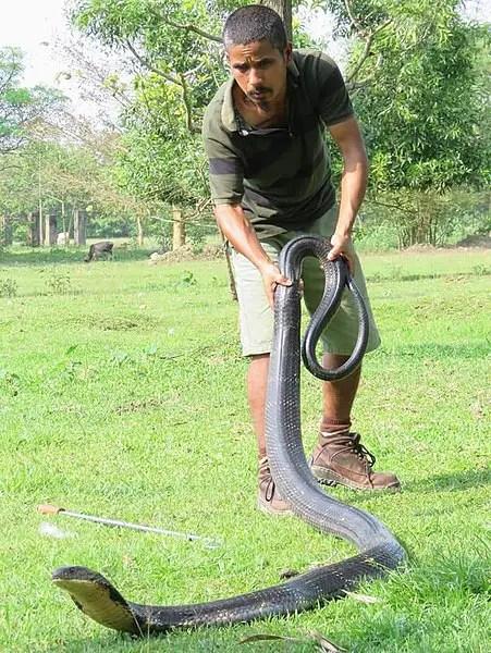 King Cobra Size