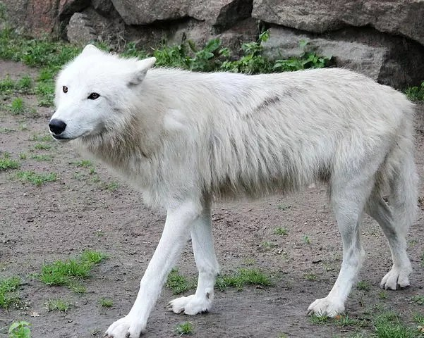 Arctic Wolf Adaptations