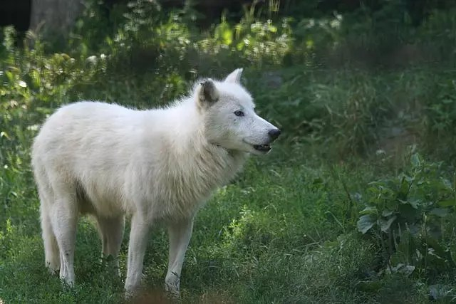 Arctic Wolf Facts For Kids - All About Arctic Wolves