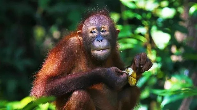 Orangutan Diet