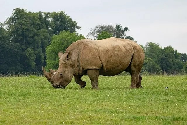 All About Rhinoceros