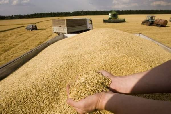 لإنتاج الدقيق المدعم.. المغرب سيشتري 105 آلاف طن من القمح اللين