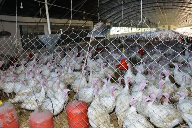 المغربي والماكلة.. 17.4 كيلو ديال الدجاج فالعام