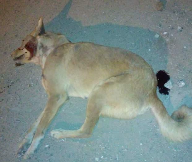 ضواحي الصويرة.. سائح إنجليزي حاول ممارسة الجنس على كلبة فعضته في جهازه التناسلي!!