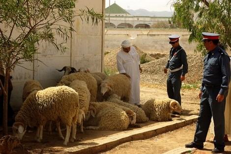غنم وأبقار وماعز وسبعة لصوص.. تفكيك عصابة المواشي في الصخيرات