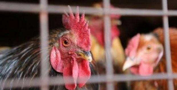 فيدرالية الدواجن: دجاجنا مكفّي لبلاد.. والمغاربة ما غاديش يقبلو دجاج كونجلي من الميريكان