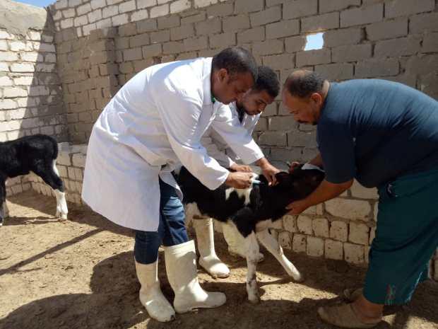 الحمى القلاعية.. تلقيح أزيد من مليون رأس من الأبقار