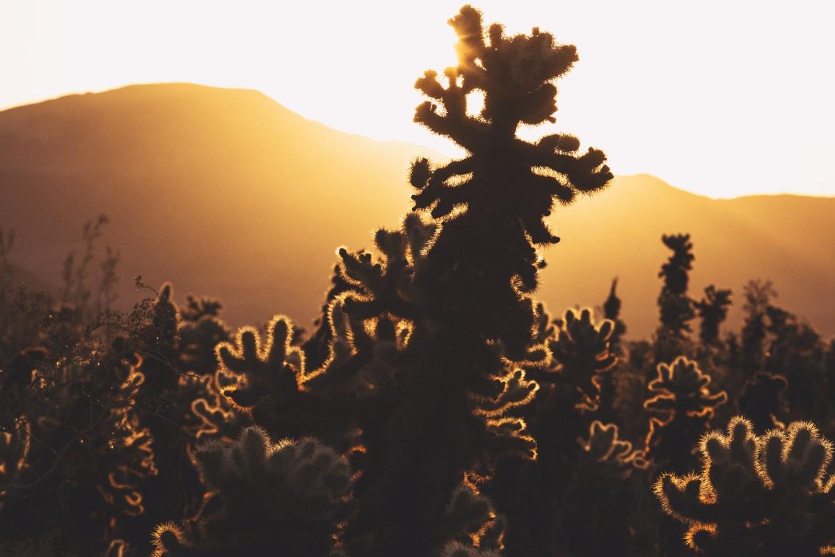 Sunrise at Cholla Cactus Garden, Joshua Tree