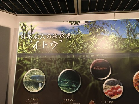 釧路市湿原展望台_日本最大の淡水魚イトウ