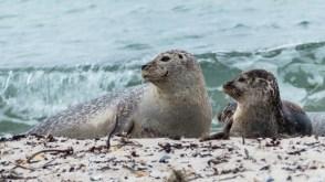 zeehonden op DUne