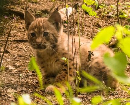 jonge lynx - Beierse Woud