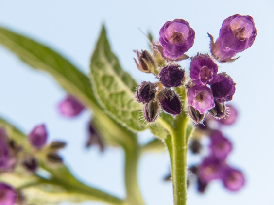 paarse smeerwortel