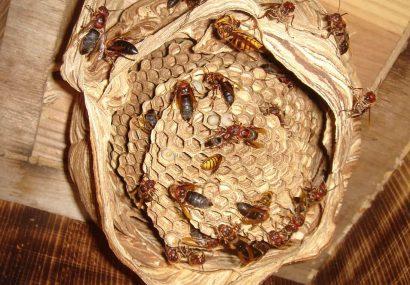 巣を乗っ取るチャイロスズメバチ