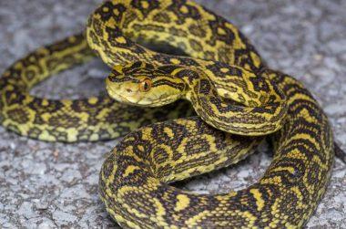 ハブ(蛇)