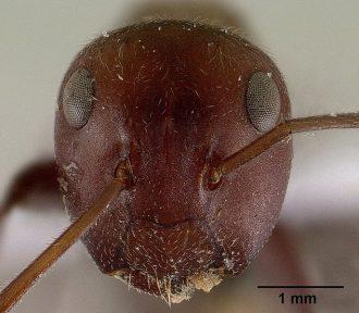 爆弾蟻(ジバクアリ)