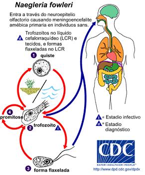 フォーラーネグレリアの感染経路