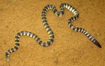 マダラウミヘビ
