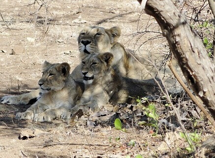 インドライオン(アジアライオン)