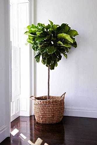 fiddle leaf fig tree you might be fortunate enough to have access to these lovely plants in a local nursery or home garden shop but we have also found